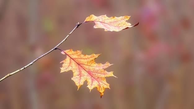 Rode eikentak met droge herfstbladeren