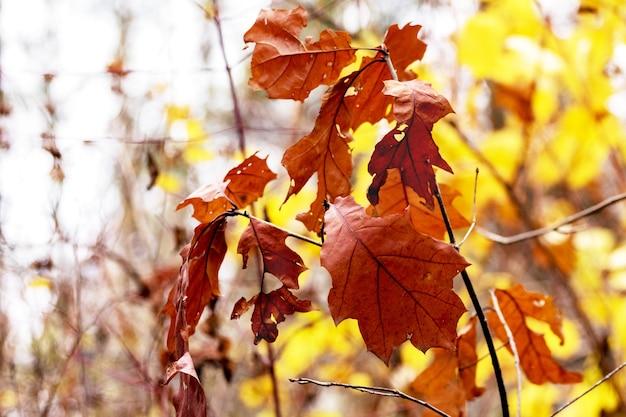 Rode eikentak met kleurrijke herfstbladeren in het bos