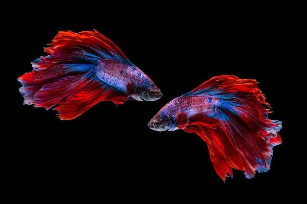 Rode en blauwe bettavissen, siamese het vechten vissen op zwarte achtergrond