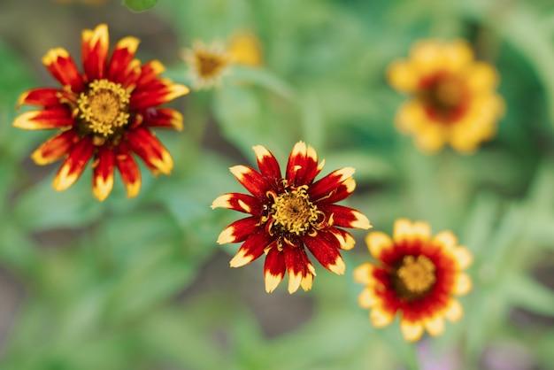 Rode en gele bloemen van zinnia in de de zomertuin