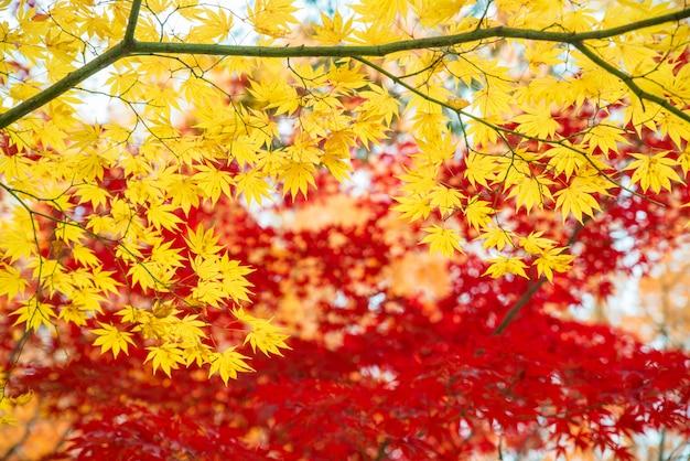 Rode en gele esdoornbladeren in de herfstseizoen