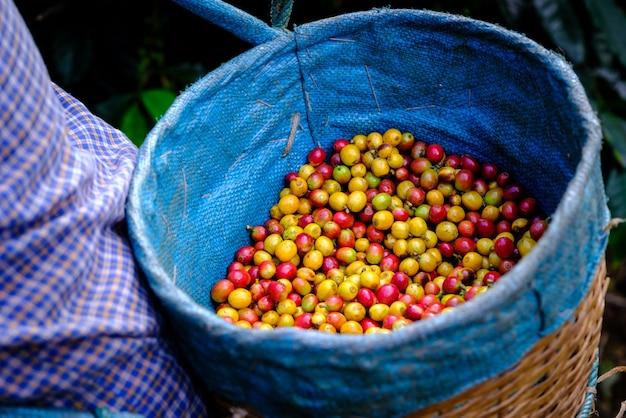 Rode en gele kersen koffiebonen in de mandboeren in landbouwgrond
