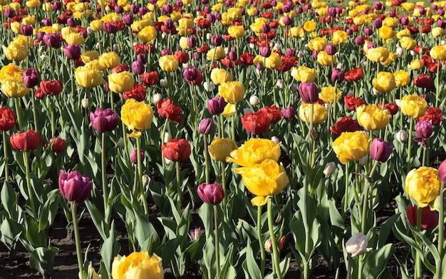 Rode en gele tulpen close-up verse heldere toppen van bloeiende bloemen op de onscherpe achtergrond