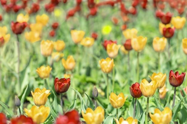 Rode en gele tulpen in de natuur.