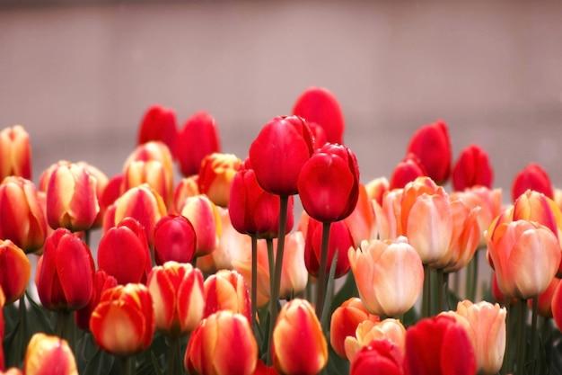 Rode en gele tulpen in dichte omhooggaande fotografie, selectief nadrukonduidelijk beeld als achtergrond