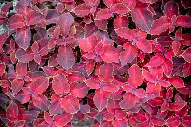 Rode en groene bladeren van de siernetelplant