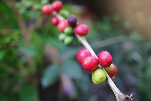 Rode en groene koffiebonen op een tak van koffieboom.