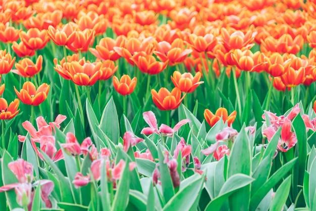 Rode en roze tulpen
