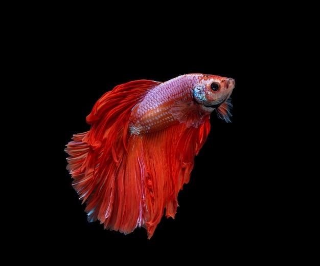 Rode en witte halve maan siamese het vechten vissen die op zwarte achtergrond worden geïsoleerd