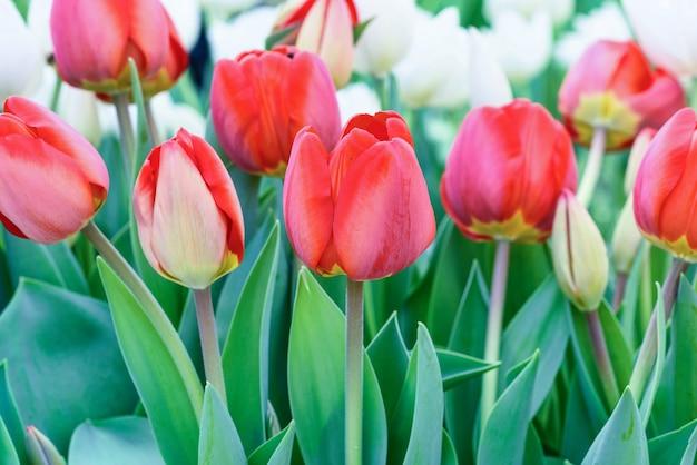 Rode en witte tulpen in een bloem veld