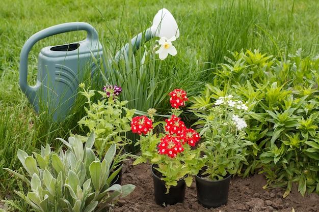Rode en witte verbena bloemen, gieter op een tuinbed.