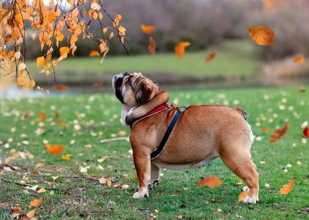 Rode engelse bulldog uit voor een wandeling op een groen gras in de herfst