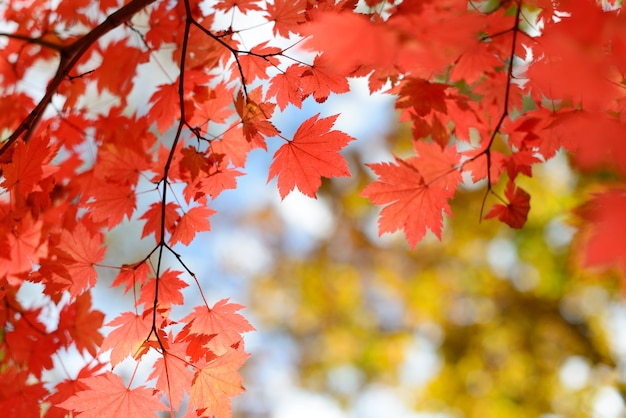 Rode esdoorn bladeren grens bij herfst bos, onscherpe achtergrond.