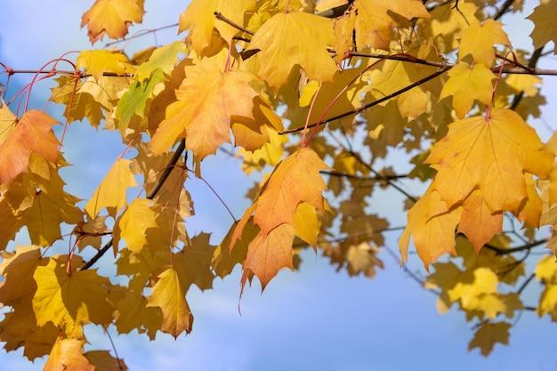 Rode esdoornbladeren die van kleur veranderen en van bomen vallen als gevolg van het veranderende weer in de herfst