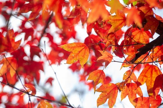 Rode esdoornbladeren in het de herfstseizoen