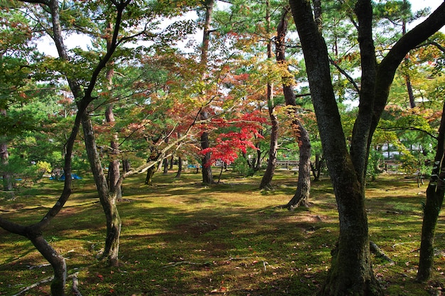 Rode esdoorns momiji, kyoto, japan