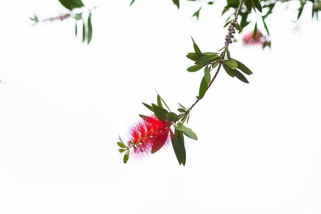 Rode fles borstel bloem