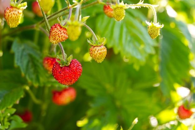 Rode fragaria of wilde aardbeien, groeiende biologische wilde fragaria. rijpe bes in tuin. natuurlijke biologische gezonde voeding concept.