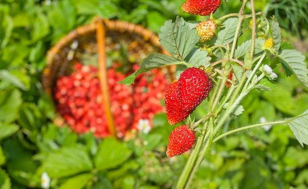Rode fragaria of wilde aardbeien