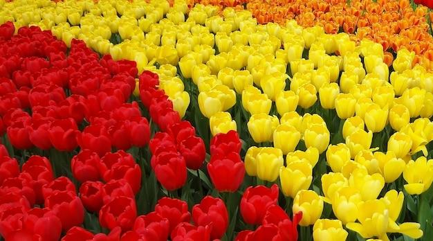Rode, gele en oranje tulpen op een bloembed in een park.