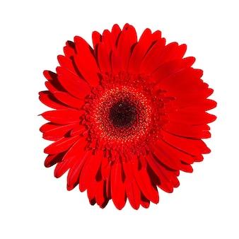 Rode gerbera bloem isoleren op een witte achtergrond