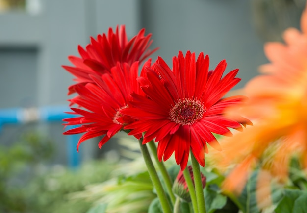 Rode gerbera-bloembloesem