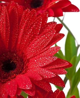 Rode gerbera's close-up