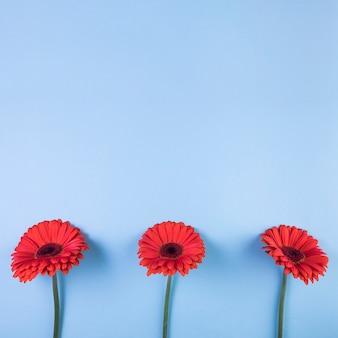 Rode gerberabloem tegen blauwe achtergrond