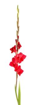 Rode gladiolen bloemen geïsoleerd op een witte achtergrond. mooie zomerbloemen.