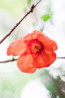 Rode granaatappelbloem