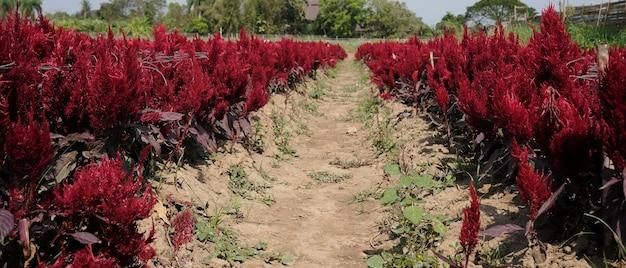 Rode hanekam in het veld met het zonlicht.