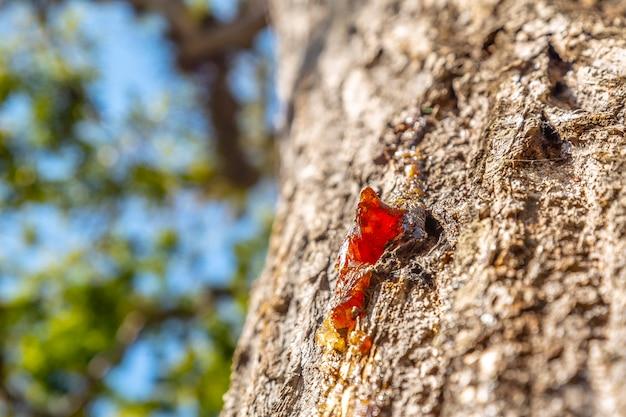 Rode hars op een prachtige boom