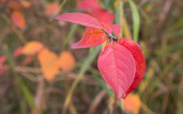 Rode herfstbladeren op een boomtak. heldere herfst in de natuur