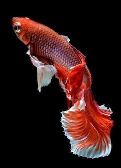 Rode hetta maan lange staart betta vis