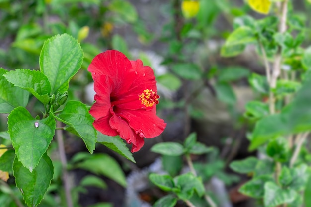 Rode hibiscus rosa bloem of chinese roos bloeit op een tak in de tuin