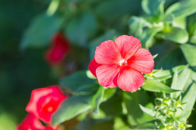 Rode hibiscusbloem die in de ochtendzon bloeien