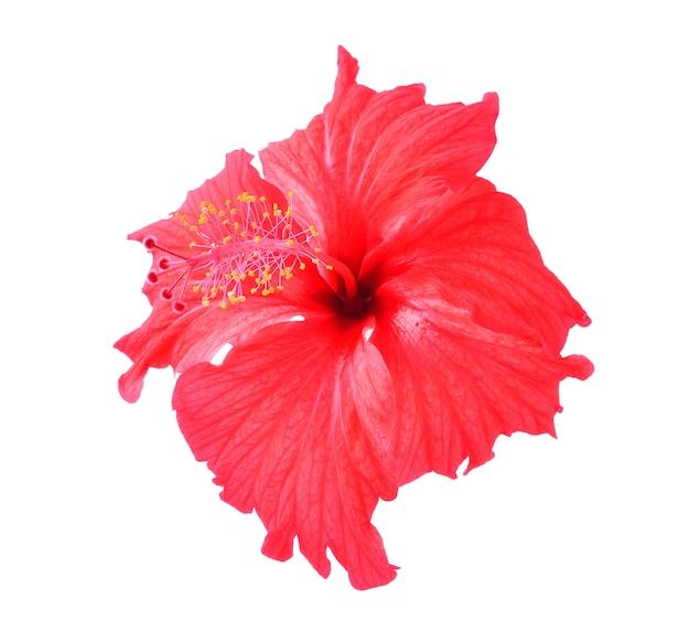 Rode hibiscusbloem die op witte achtergrond wordt geïsoleerd