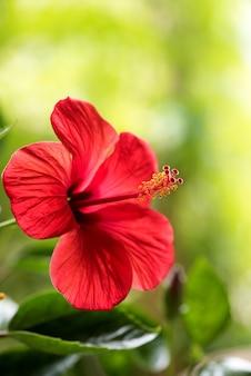 Rode hibiscusbloem op aardoppervlak.