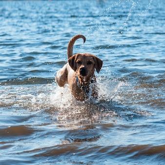 Rode hond die en in het water loopt speelt