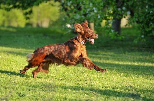 Rode hond die tegen groen gras als achtergrond loopt. ondiepe dof, focus op hond. fotograferen met pannen.