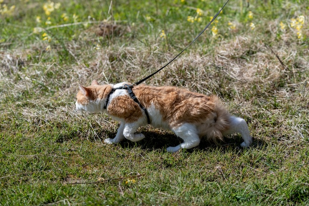 Rode kat aan de leiband lopen in een gras.