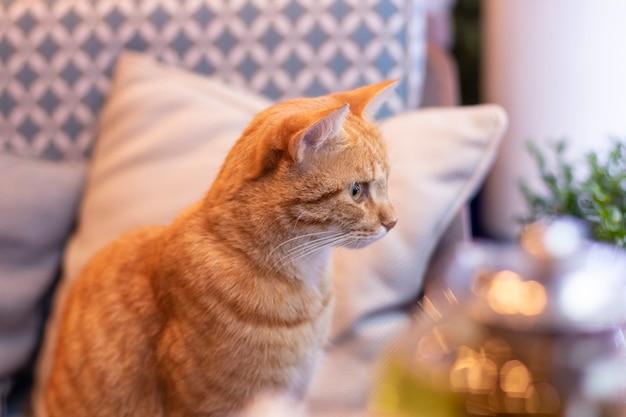 Rode kat in het café. leuke pluizige kat binnenshuis, in het interieur onder de kussens