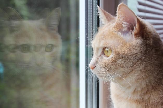 Rode kat kijkt uit het raam en zijn spiegelbeeld in het glas
