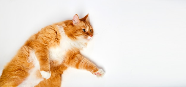 Rode kat liggend op zijn rug. grote rode maine geïsoleerde wasbeerkat