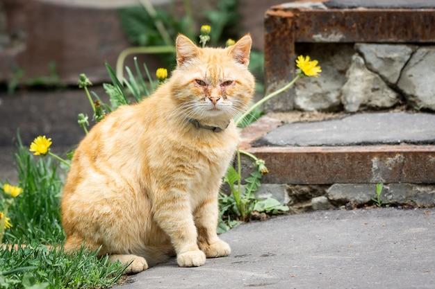 Rode kat met pijnlijke ogen