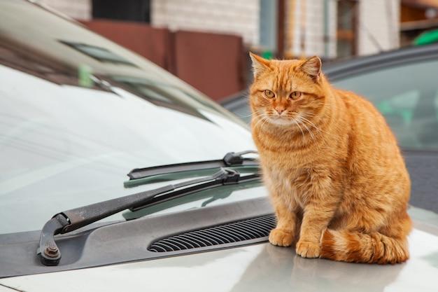 Rode kat zit op de motorkap van een auto