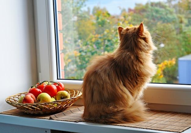 Rode kat zittend op de vensterbank in de buurt van appels en tomaten en keek uit het raam naar het herfstlandschap. grote rode perzische kat.