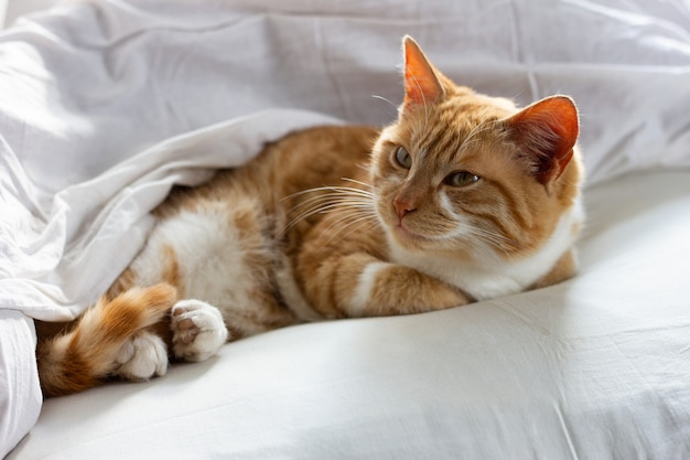Rode kattenslaap op een witte deken. luie rode kattenslaap op bedlinnen. rode slapende kat