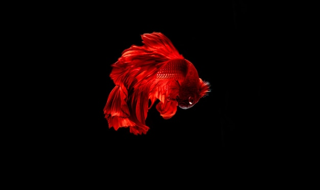 Rode kempvissen in het donker