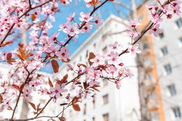 Rode kersenbloesem blauwe hemel voorjaar concept